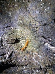 """Многоножка в една от пещерите северно от село Лозенец. Снимка: Константин Стоичков ПК """"Хеликтит"""" София."""